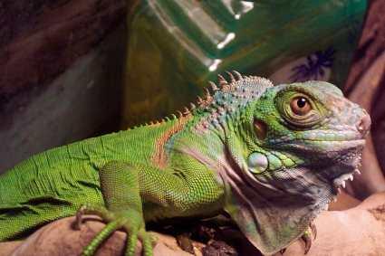 green_iguana_sm