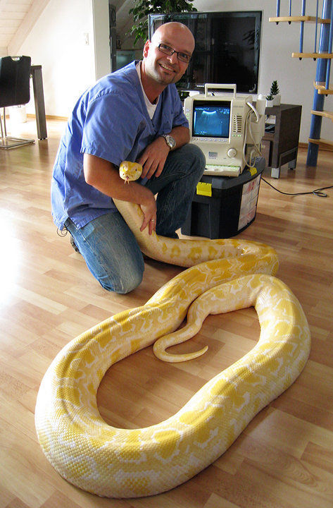 full grown albino burmese python
