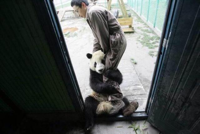 Um panda traumatizado após terremoto no Japão