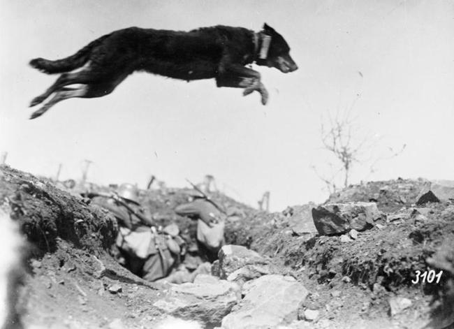 Cão mensageiro saltando sobre uma trincheira alemã, em 1917
