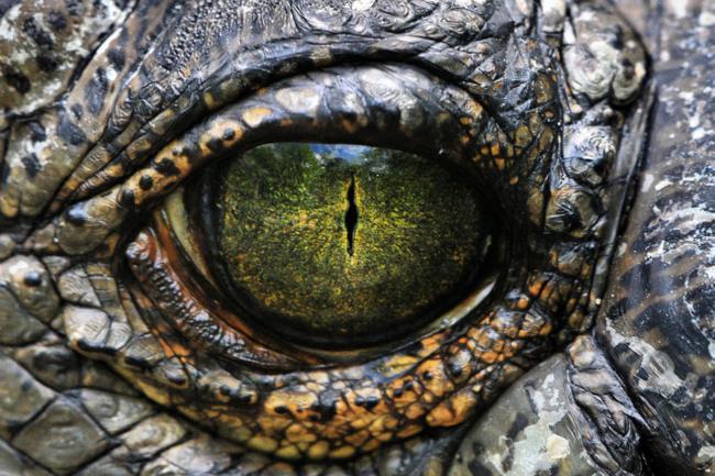 Esta é a aparência do olho de um crocodilo