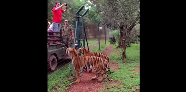 tigres_saltando
