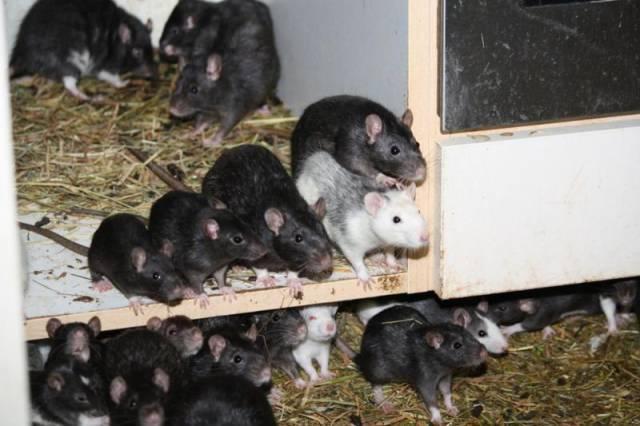ratos_apartamento_05