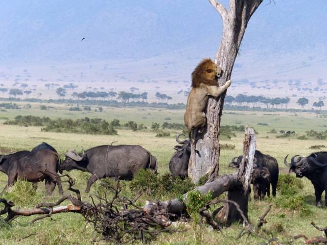 Um leão tentando escapar de uma manada de búfalos
