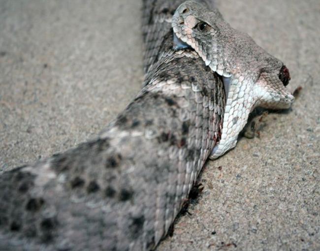 rattlesnake_02