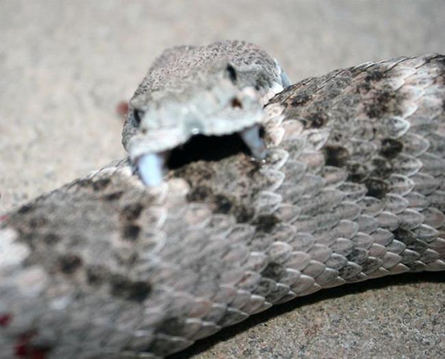 rattlesnake_03