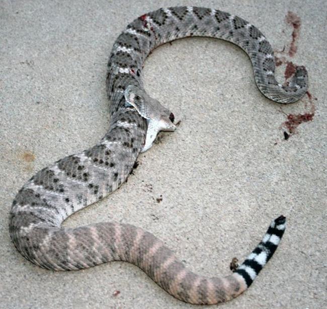 rattlesnake_04