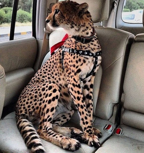 the_filthy_rich_like_to_flaunt_pictures_of_their_exotic_pets_online_640_22