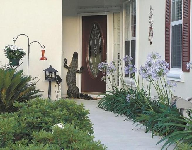 florida_alligator_06