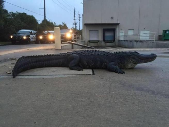 florida_alligator_11