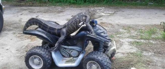 florida_alligator_12