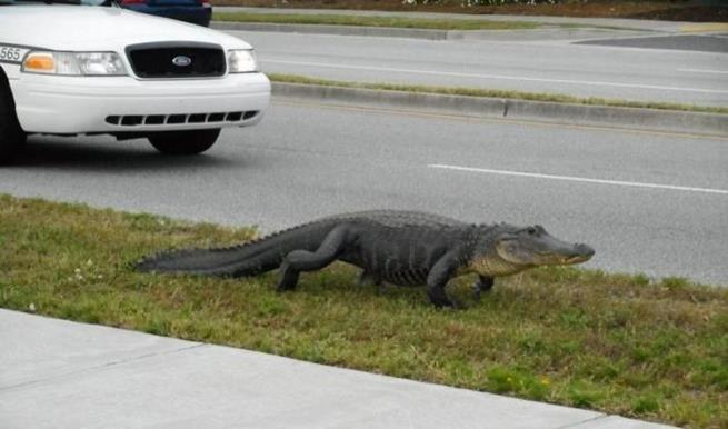 florida_alligator_15