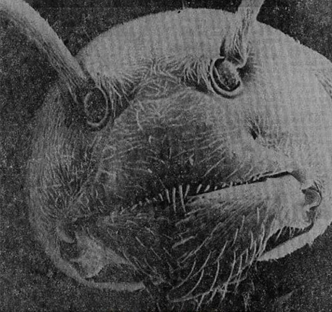 Rosto de uma formiga visto através de um microscópio eletrônico