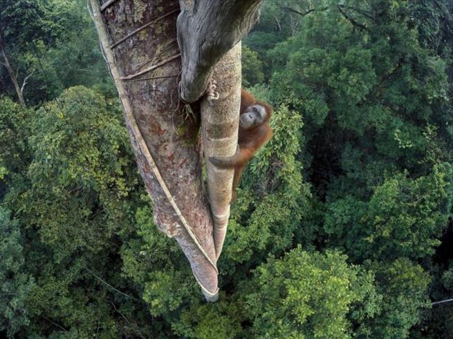 Orangotango subindo em árvore para ficar de olho na GoPro instalada para registrar fotos de animais selvagens