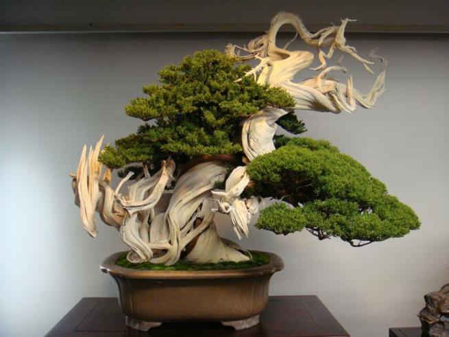 Bonsai de 800 anos de idade