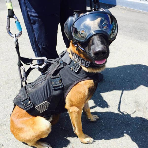 Cão pronto para saltar de helicóptero
