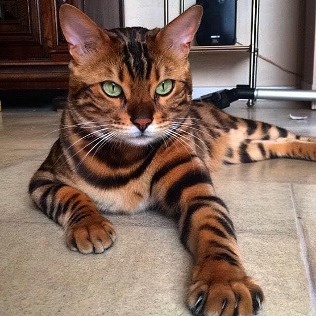 Um gato de bengala, uma raça de gato americana, que originou-se do cruzamento seletivo entre gatos domésticos e o gato-leopardo asiático