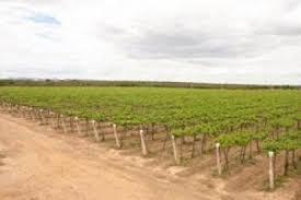Os vinhedos da ViniBrasil: semi-árido, muito sol e irrigacão com as águas do Rio São Francisco. Duas safras por ano.
