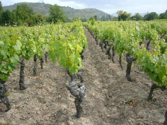 """Vinhedos orgânicos da De Martino no Maule. """"Os vinhedos são lindos, mas o que importa é o solo"""", diz o enólogo Marcelo Retamar"""