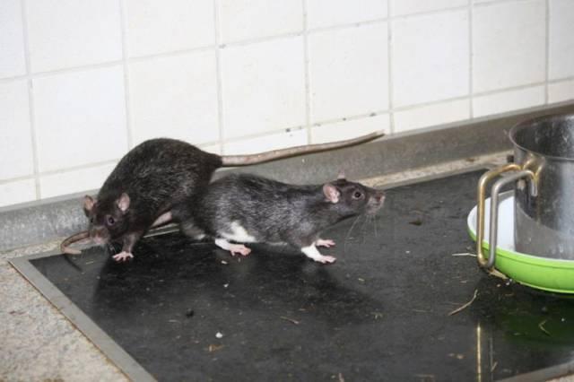 ratos_apartamento_01