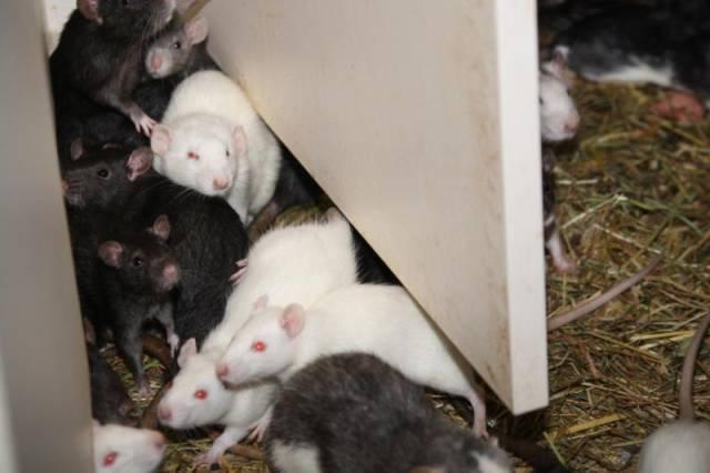 ratos_apartamento_04