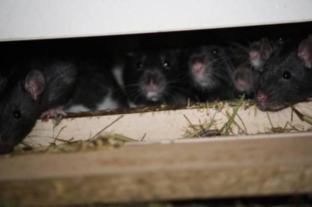 ratos_apartamento_08