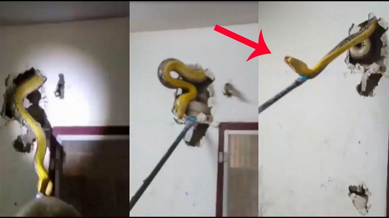 cobra-parede